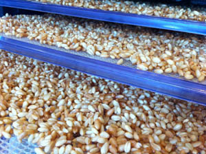 Wheat Sprouts in the Dehydrator