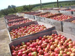 Washington Apples 2012