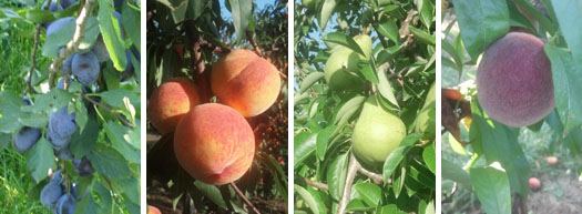 Summer Fruits On The Trees
