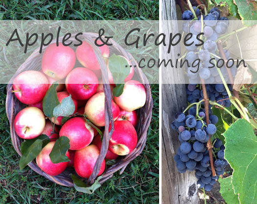 Apples and Concord Grapes Coming Soon