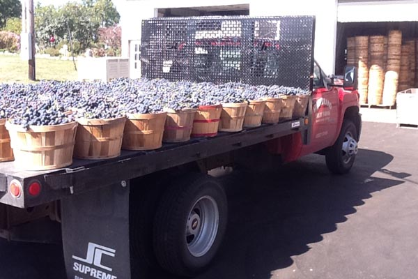 Just-picked grapes returning from the field in Michigan.