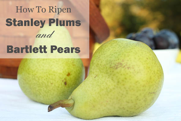How To Ripen Stanley Plums and Bartlett Pears
